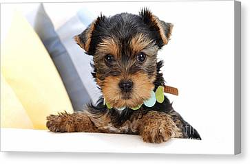 Yorkshire Terrier Puppy Canvas Print by Marvin Blaine