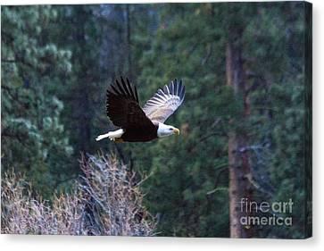 Yosemite Bald Eagle Canvas Print