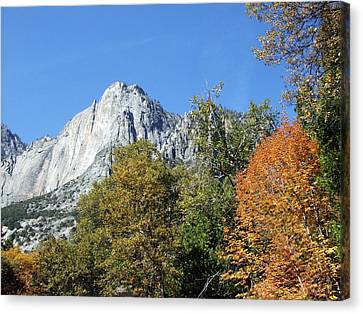 Yosemite Trees Canvas Print by Richard Reeve
