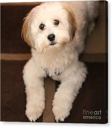 Yoshi Is One Today - Havanese Puppy Canvas Print by Barbara Griffin