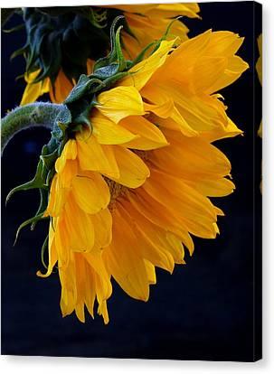 You Are My Sunshine Canvas Print by Brenda Pressnall