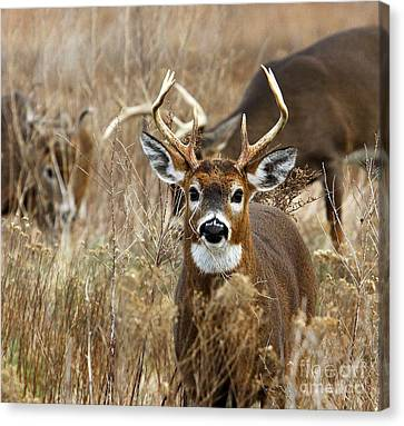 You Lookin At Me? Canvas Print by Butch Lombardi