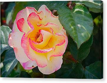 You Love The Roses - So Do I Canvas Print by Christine Till
