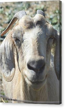 You Old Goat Canvas Print by Barbara Snyder