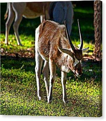 Youngster Addax Canvas Print