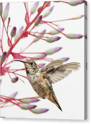 Bromeliad Canvas Print - Young Allen's Hummingbird by Mike Herdering