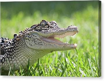 Young Alligator With Mouth Open Canvas Print by Piperanne Worcester