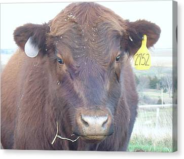 Canvas Print featuring the photograph Young Angus by J L Zarek