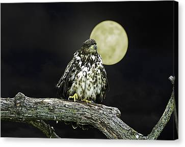 Canvas Print featuring the photograph Young Bald Eagle By Moon Light by John Haldane