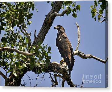 Young Bald Eagle Canvas Print by Nava Thompson