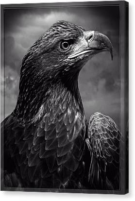 Young Bald Eagle V4 Canvas Print by F Leblanc