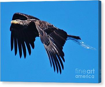 Young Bald Eagle Canvas Print by William Wyckoff