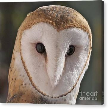 Canvas Print featuring the photograph Young Barn Owl by K L Kingston