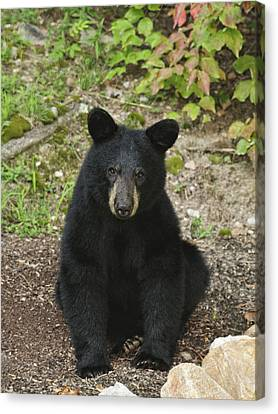Young Bear 1 Canvas Print by Lara Ellis