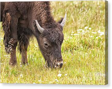 Canvas Print featuring the photograph Young Bison by Belinda Greb