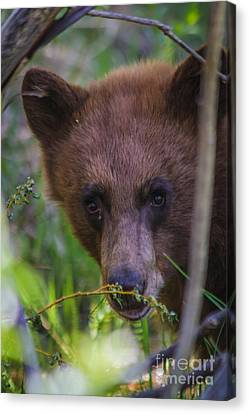 Young Black Bear Canvas Print by Mitch Shindelbower