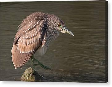 Kathleen Canvas Print - Young Black-crowned Night Heron Hunting by Kathleen Bishop
