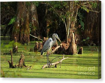 Young Blue Heron Canvas Print by Theresa Willingham