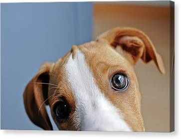 Young Brown Dog At Home Canvas Print