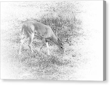 Young Buck Canvas Print