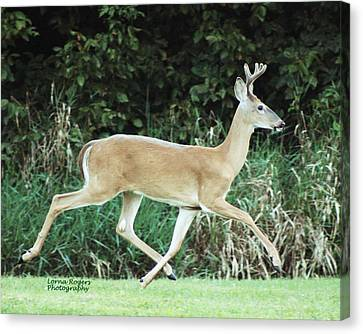 Young Buck Canvas Print by Lorna Rogers Photography