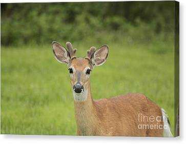Young Buck With Velvety Antlers Canvas Print by Jim Lepard