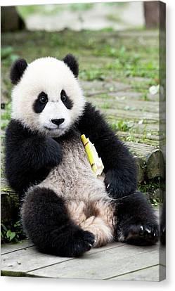 Young Captive Giant Panda Eating Bamboo Canvas Print