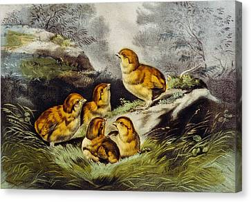 Ducklings Canvas Print - Young Chicks Circa 1856 by Aged Pixel