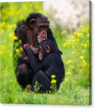 Young Chimpanzee With Adult - II Canvas Print