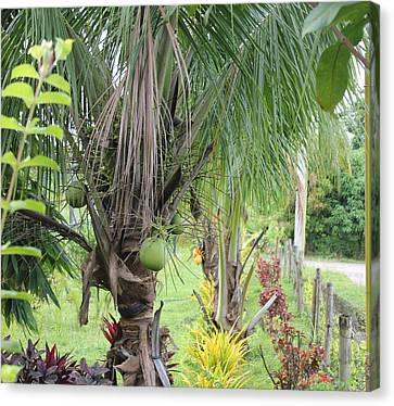 Young Coconut Tree Canvas Print by Cyril Maza