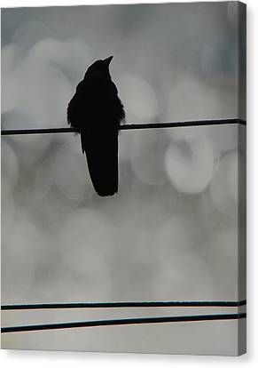 Monochrome Young Crow Canvas Print