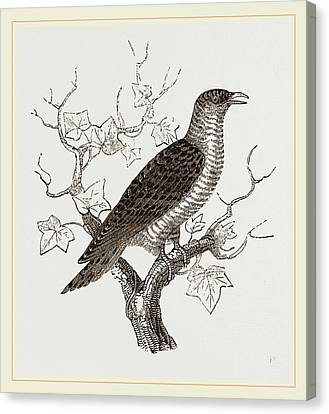 Young Cuckoo Canvas Print by Litz Collection