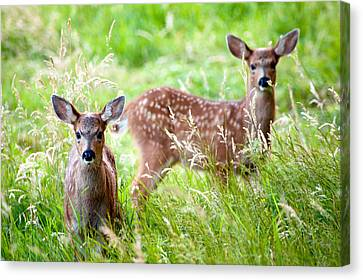 Young Deer Canvas Print by Crystal Hoeveler