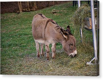 Young Donkey Eating Canvas Print by Chris Flees