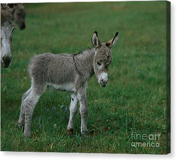 Young Donkey Canvas Print by Hans Reinhard