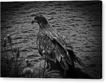 Canvas Print featuring the photograph Young Eagle Bw by Timothy Latta