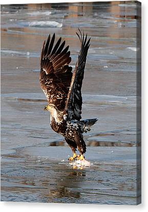 Canvas Print featuring the photograph Young Eagle by John Freidenberg