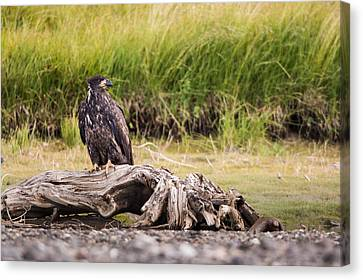 Young Eagle On A River Bed Canvas Print by Andres Leon