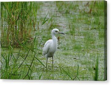 Juvenile Little Blue Heron At Willow Pond Canvas Print by Dan Williams