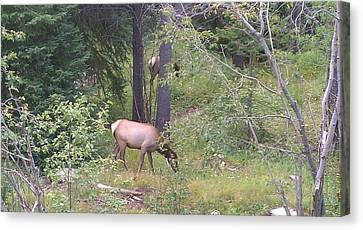 Canvas Print featuring the photograph Young Elk Grazing by Fortunate Findings Shirley Dickerson