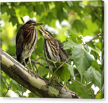 Canvas Print featuring the photograph Young Green Herons by David Lester