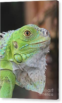 Young Green Iguana Canvas Print