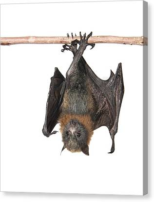 Young Grey-headed Flying Fox Canvas Print