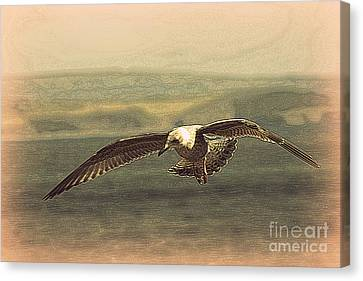 Sennen Cove Canvas Print - Young Gull by Linsey Williams