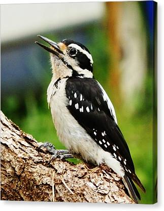 Canvas Print featuring the photograph Young Hairy Woodpecker by VLee Watson