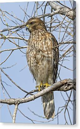 Young Hawk Canvas Print by Loree Johnson
