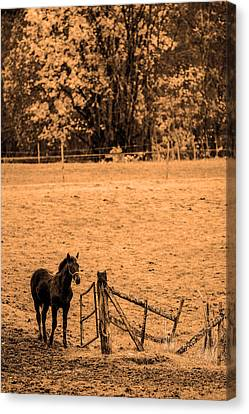 Young Horse Canvas Print