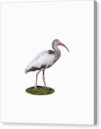 Canvas Print featuring the photograph Young Ibis Gazing Upwards by John M Bailey