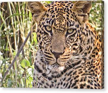 Young Leopard Canvas Print by Delphimages Photo Creations