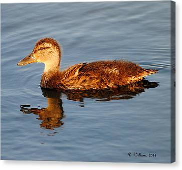 Young Mallard Hen At Ocracoke Canvas Print by Dan Williams
